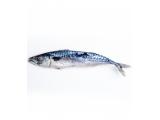 ice titus fish